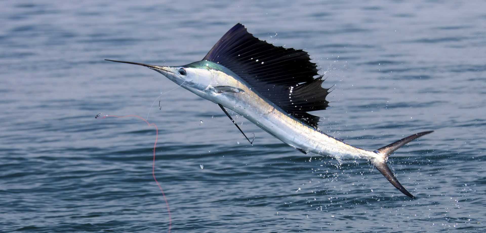 Swordfish Fishing Catch